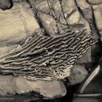 Kelp IV Toned fine art sepia nature photograph