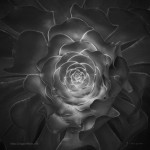 Succulent I BW fine art black and white photo