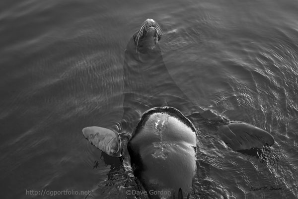 Sea Lion IV BW