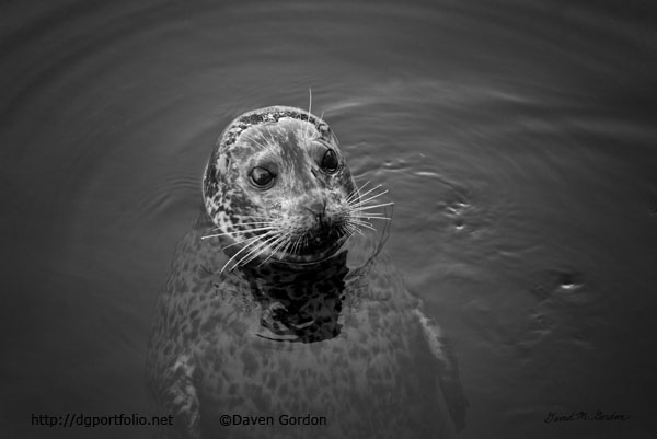 Harbor Seal I BW