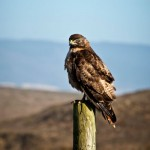 Red Tail Hawk - color