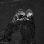 Sea Otters II BW fine art photo