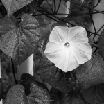 Fine art black and white photograph of a morning glory.