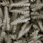 Silvery Ferns fine art nature photograph